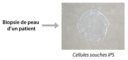 schema-cellules