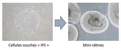schema cellules souches
